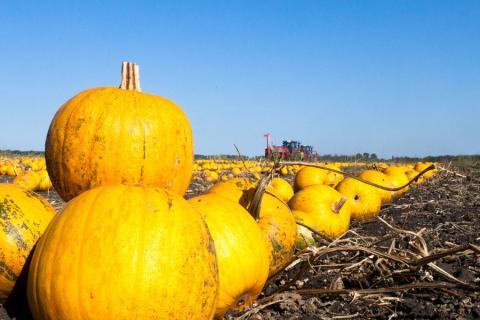 Україна увійшла до країн-лідерів з вирощування штирійського гарбуза Рис.1