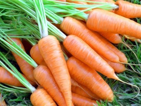 Фермери України почали збирати моркву нового врожаю Рис.1