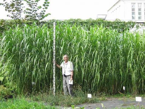 На Житомирщині вирощують рослину, що замінює газ Рис.1