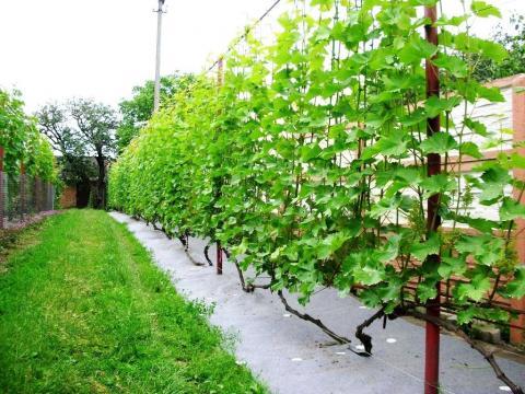 Українські вчені створили сорти винограду для північних областей України Рис.1