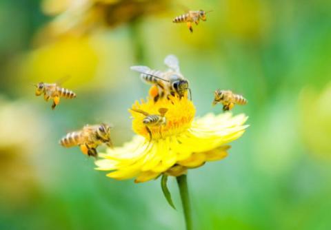 Аграріїв на Сумщині звинуватили в отруєнні бджіл пестицидами Рис.1