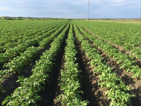Посуха і спека в Україні поставили під загрозу урожай овочів Рис.1