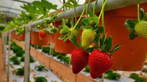 В Голландії навчились вирощувати полуницю в квартирах Рис.1