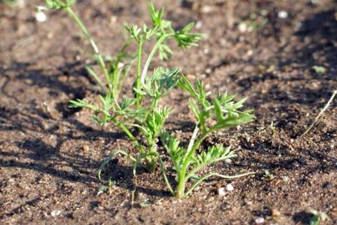 Крапельне зрошення підвищує врожайність органічної моркви вдвічі Рис.1