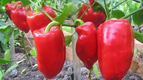 В Запорізькій області створено об'єднання фермерів що вирощують перець Рис.1