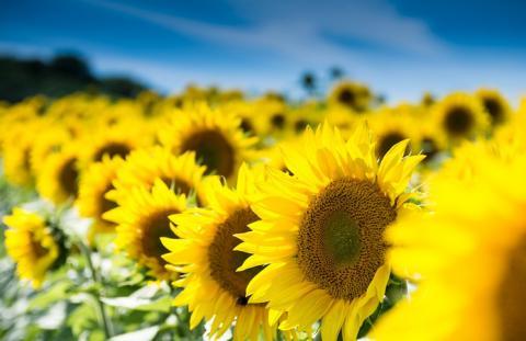 Аграріям пропонують ефективний захист соняшнику від фомозу та гнилей Рис.1