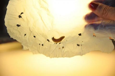 Дівчина з Маріуполя винайшла спосіб утилізації пластику за допомогою личинок жуків Рис.1