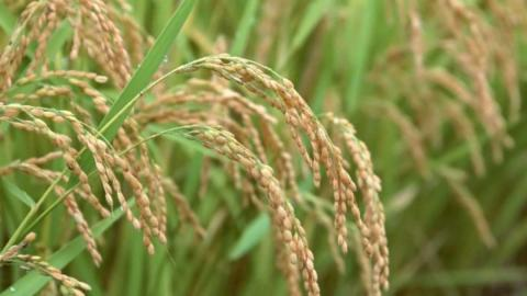 Китайські вчені склали тривимірну карту геному рису з високою роздільною здатністю Рис.1