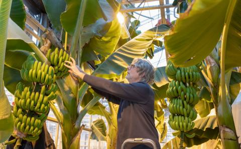 Нідерландські вчені протестували вирощування бананів в теплицях Рис.1