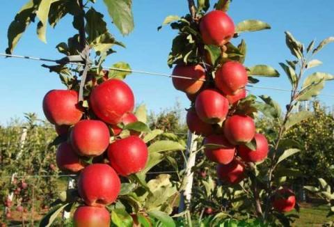 Перші яблука сорту «Гала» в Україні продаються в 2-3 рази дорожче, ніж роком раніше Рис.1