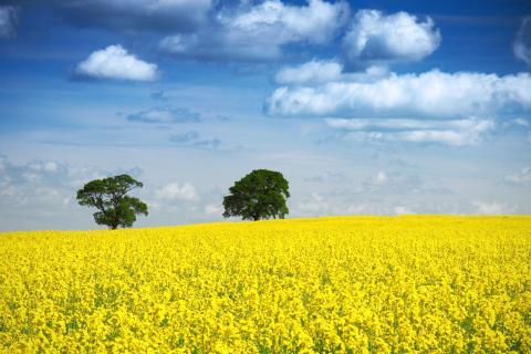 У 11 областях України розпочато посів озимого ріпаку під урожай 2020 року Рис.1