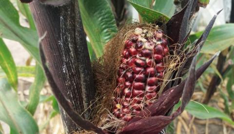 Вінницький селекціонер презентував унікальну фіолетову кукурудзу Рис.1