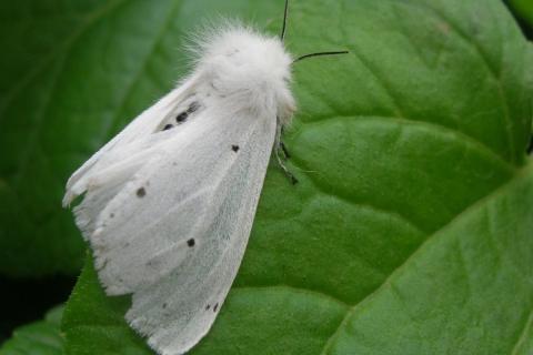 Через нашестя американського білого метелика потерпають фермери Волині та Рівненщини Рис.1