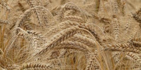 Вчені розробили портативний секвенатор ДНК пшениці, який дозволяє ідентифікувати хвороби рослини ще до їх прояви Рис.1