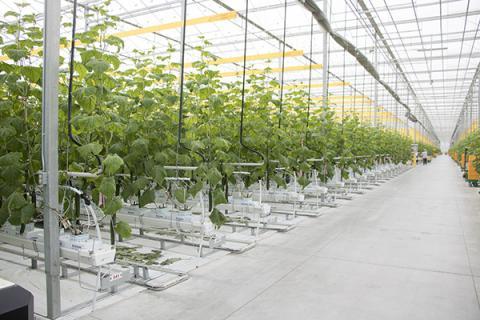 Інноваційні рішення при тепличному вирощуванні огірків Рис.1