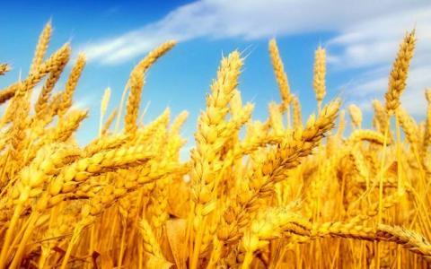 Українські вчені визначили найурожайніші сорти озимої пшениці Рис.1