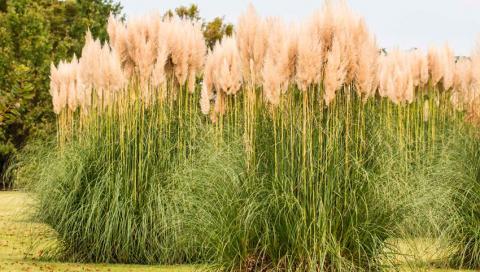 Вирощування міскантусу може стати прибутковим бізнесом Рис.1