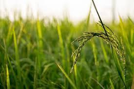 Corteva Agriscience зареєструвала в Україні новий гербіцид для рису Рис.1