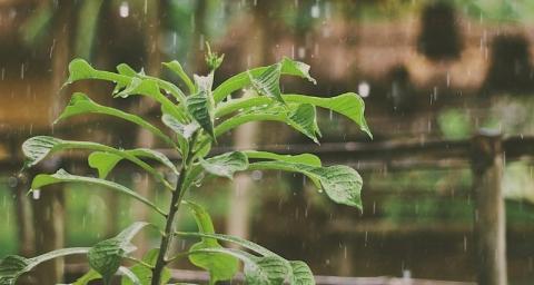 Рослини відчувають стрес від контакту з водою Рис.1