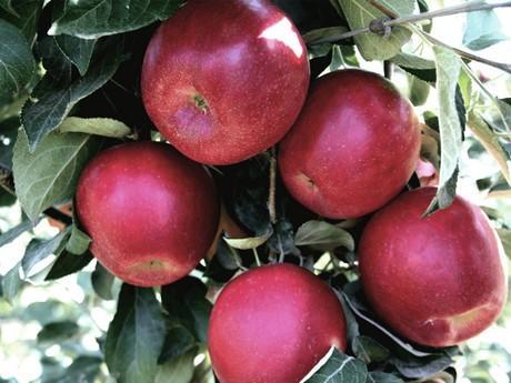 У «розкурутку» сорту яблук Космік Крісп вклали найбільшу суму за всю історію Рис.1