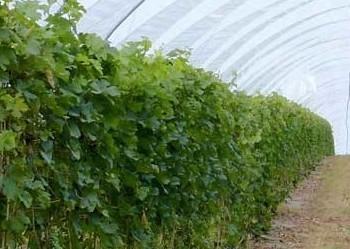 Виноград у високих тунелях менше пошкоджується шкідниками та має більшу врожайність Рис.1