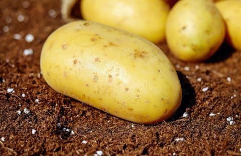 У Великій Британії успішно випробували ГМ-картоплю Рис.1