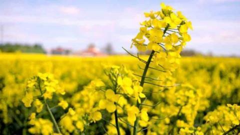 Британські вчені знайшли спосіб підвищити резистентність ріпаку до фомозу Рис.1
