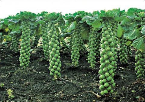 Брюссельська капуста –– цікава ніша Рис.1