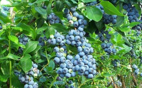 Після тестування в українському кліматі вибраковується половина сортів лохини Рис.1