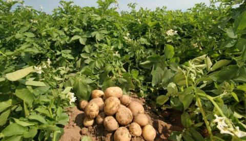 Експерти назвали найсмачніші сорти картоплі Рис.1
