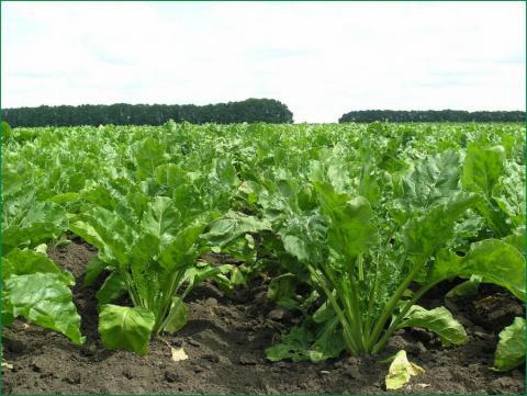 «Агропродсервіс» використав ноу-хау в збереженні врожайності цукрових буряків Рис.1