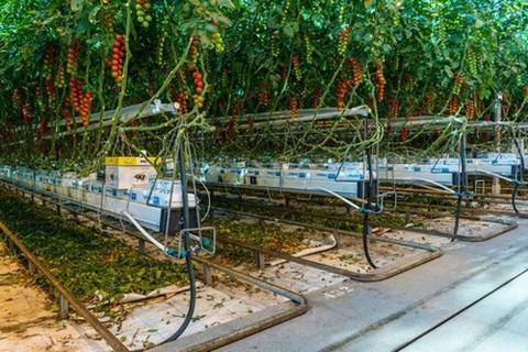 Економія води в теплиці - лайфхак від голландського томатовода Рис.1