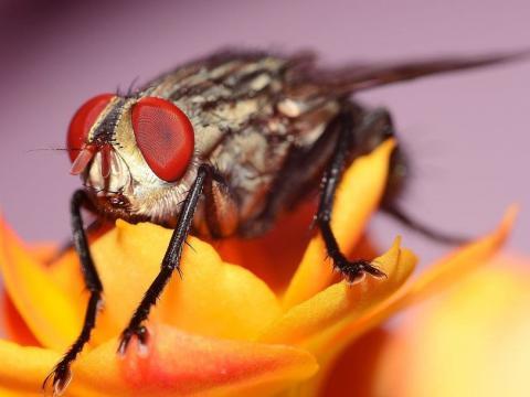 """Комп'ютер навчили розпізнавати плодових мух в """"обличчя"""" Рис.1"""