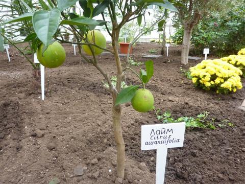 На Херсонщині зібрали експериментальний врожай тропічних лаймів Рис.1