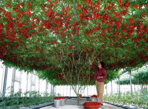 Розумні теплиці вирощують помідори Рис.1