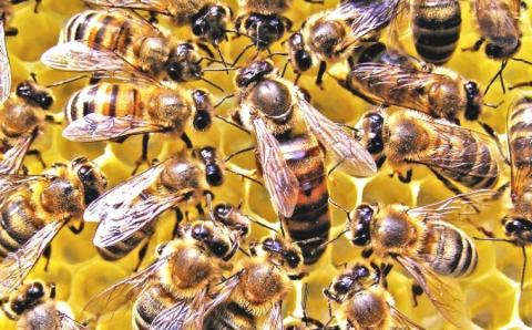Супер-бджоли зі стійкістю до пестицидів - новий проект вчених з редагування генома Рис.1