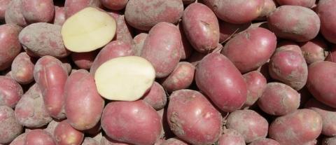 Українську картоплю хочуть стндартизувати по європейські, але не на 100% Рис.1