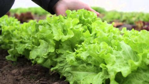 В розумних теплицях на Львівщині голландець вирощує салат Рис.1