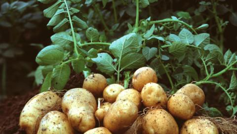 В Україні рекордно низька ціна на молоду картоплю Рис.1