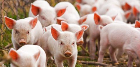 В Україні запроваджують програму аграрних розписок для свинарів Рис.1