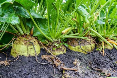 В Україні завершилась кампанія по збору цукрових буряків Рис.1