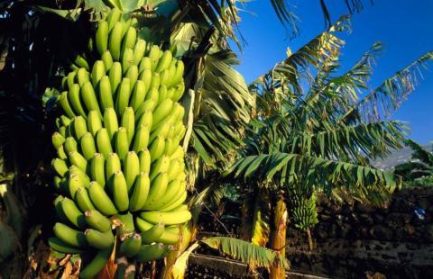 В Японії вирощують холодостійкі банани Рис.1