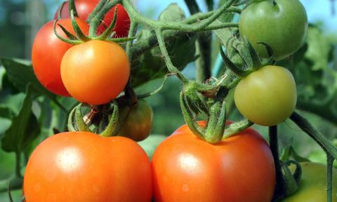 Вчені створять помідори чилі Рис.1