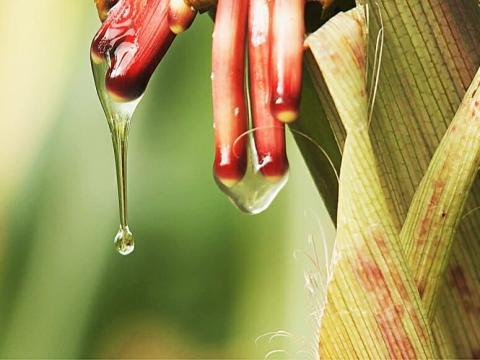 Вчені виявили сорт кукурудзи, який отримує азот з повітря Рис.1