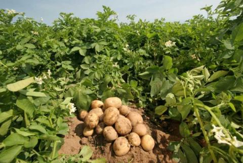 Вирощування картоплі може бути одним з найприбутковіших видів агробізнесу — експерт Рис.1
