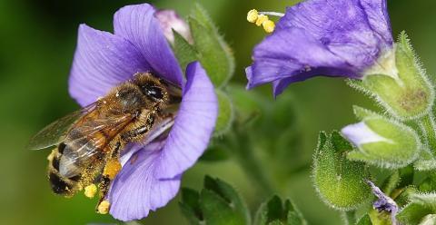 Які квіти вибирають бджоли? - дослідження вчених Рис.1