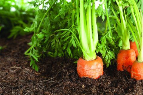 Азотні добрива для моркви в кінці сезону їй не допоможуть Рис.1