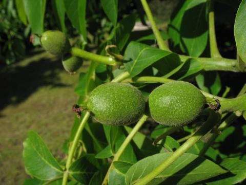У «Маїсі» саджанці грецьких горіхів у рази перевищують державні стандарти Рис.1