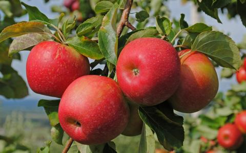Виведен новий сорт яблук стійкий до парші Рис.1