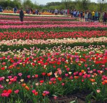 Фестиваль тюльпанів 2019 Рис.1